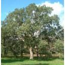 Dąb Korkowy (Quercus Suber) nasiona
