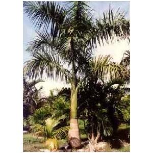 Palma Królewska (Roystonea Regia) nasiona 5 szt