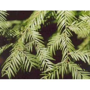 Sekwoja (Sequoia Sempervirens) nasiona 10 szt