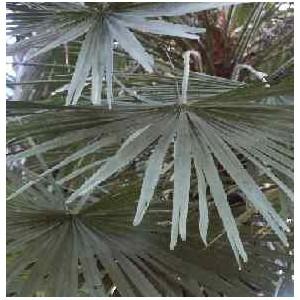 Palma Sabalowa (Sabal Minor) nasiona 5 szt