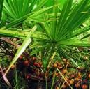 Palma Sabalowa (Serenoa Repens) nasiona