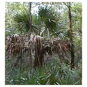 Palma Sabalowa (Sabal Texensis) nasiona 5 szt