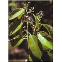Drzewo Sandałowe (Santalum Album) nasiona