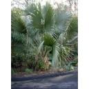 Palma Sabalowa (Sabal Palmetto) nasiona