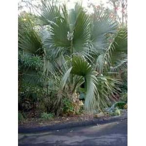 Palma Sabalowa (Sabal Palmetto) nasiona 5 szt