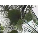 Trachycarpus Martianus (Palma) nasiona