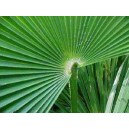 Trachycarpus Takil (Palma) nasiona