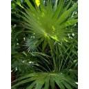 Thrinax Parvifolia (Palma) nasiona