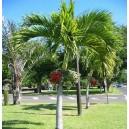 Veitchia Merrilli (Palma) nasiona
