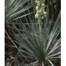 Jukka (Yuca Glauca) nasiona