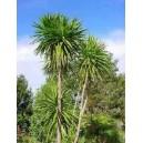 Kordylina Australijska (Cordyline Australis) nasiona