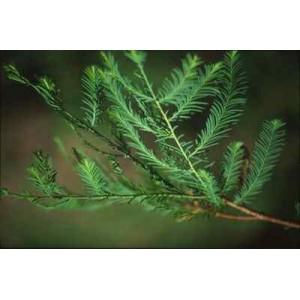 Cypryśnik Błotny (Taxodium Distichum) nasiona 20 szt