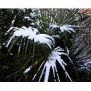 Szorstkowiec Fortunego Palma (Trachycarpus Fortunei) sadzonki Min 5 Liści
