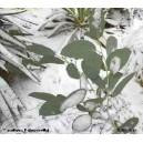 Eukaliptus Górski (Eucaliptus Gunii) sadzonki Ok 10-20cm