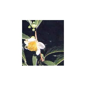 Herbata Chińska (Camelia Sinensis) większe sadzonki