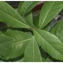 Laur, Wawrzyn Szlachetny (Laurus Nobilis Bay Leaf) sadzonki