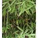 Bambus wodny (Phyllostachys Heteroclada) nasiona