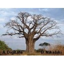 Baobab afrykański (Adansonia Digitata) sadzonki