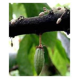 Kakaowiec (Theobroma Cacao) tegoroczne sadzonki