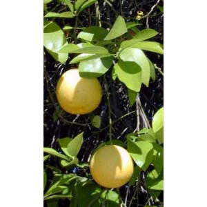 http://www.oleander.pl/447-1391-thickbox/grapefruit-citrus-paradisi-sadzonki.jpg