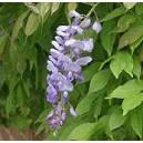 Śliczne pnącze Wisteria Glicynia (Wisteria Sinensis) 2 letnie sadzonki