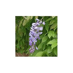 Śliczne pnącze Wisteria Glicynia (Wisteria Sinensis) roczne sadzonki