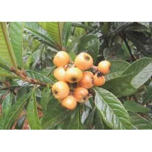 Antynowotworowa Nieszpułka, Miszpelnik Japoński (Eriobotrya Japonica) roczne sadzonki