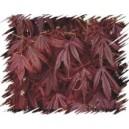Klon Palmowy (Acer Palmatum) nasiona - wyprzedaż