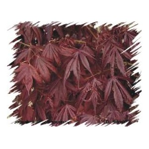 Klon Palmowy (Acer Palmatum) nasiona - wyprzedaż 10 szt