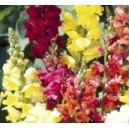 Lwia Paszcza Karłowa (Antirrhinum Majus ) nasiona