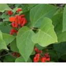 Fasola Ozdobna (Phaseolus Coccineus) nasiona
