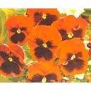 Bratek wielkokwiatowy Czerwony Z Oczkiem (Viola x wittrockiana Abendglut) nasiona