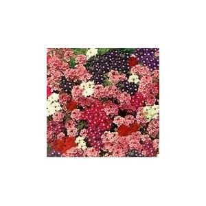 http://www.oleander.pl/507-2200-thickbox/werbena-o-pedach-zwisajacych-verbena-hybrida-pendula-nasiona.jpg