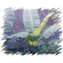 Banan śnieżny, Górski (Musa Ensete Glaucum) nasiona