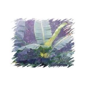 Banan śnieżny, Górski (Musa Ensete Glaucum, nepalensis, wilsonii, giganteum) nasiona 1 szt