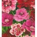 Goździk Ogrodowy (Dianthus Chinensis) nasiona