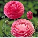 Jaskier Peoniowy (Ranunculus Pink) cebulki