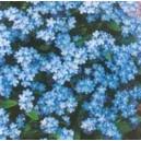 Niezapominajka niebieska (Myosotis Alpestris) nasiona