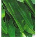 Szczaw (Rumex Acetosa) nasiona