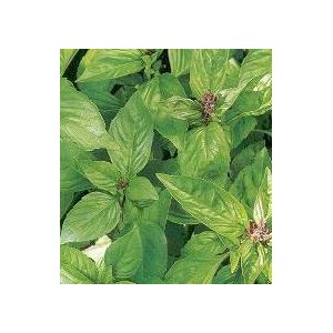 http://www.oleander.pl/571-1609-thickbox/bazylia-wlasciwa-pospolita-ocimum-basilicum-nasiona.jpg