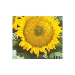 http://www.oleander.pl/577-1617-thickbox/slonecznik-ogrodowy-helianthus-annuus-nasiona.jpg