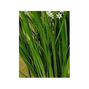Szczypiorek Czosnkowy nasiona