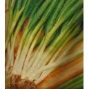 Cebula Zimowa Siedmiolatka (Allium Fistulosum) nasiona