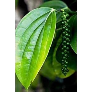 http://www.oleander.pl/598-1657-thickbox/pieprz-czarny-pipper-nigrum-sadzonki.jpg