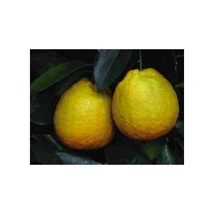 Pomarańcza Słodka (Citrus Sinensis) sadzonki
