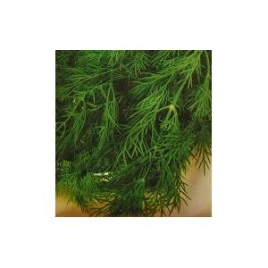 Koper ogrodowy (Anethum Graveolens) nasiona