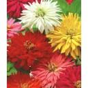 Cynia Chryzantemowa (Zinna Elegans Chrysantha) nasiona