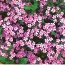 Mydlnica Różowa (Saponaria Ocymoides) nasiona