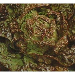 Sałata Głowiasta Masłowa (Lactuca Sativa) nasiona