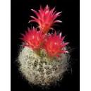 Kaktus neoporteria nasiona